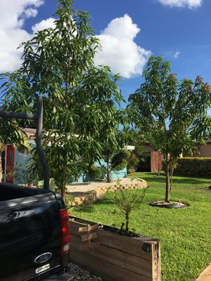 Mango trees for Sale in Plantation, FL