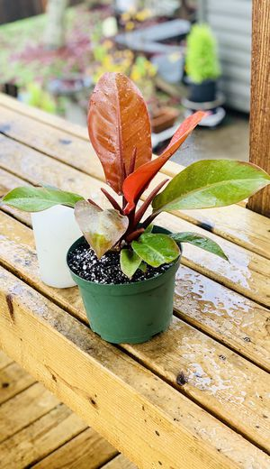 Live indoor Philodendron Prince of Orange house plant in a temporary planter flower pot—firm price for Sale in Seattle, WA