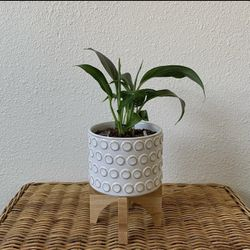"""Peace Lily w/ 5"""" Ceramic White Planter with Wooden Legs for Sale in Golden,  CO"""