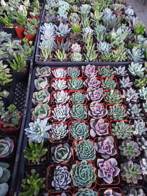 """2"""" pots with succulent plants $1 each and $55 for tray of 64 plants for Sale in Corona, CA"""