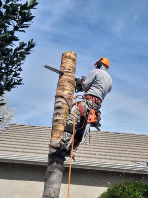 Palms,trees,stumps for Sale in Visalia, CA