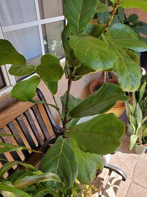 Fiddle fig plant 3' tall for Sale in La Mesa, CA