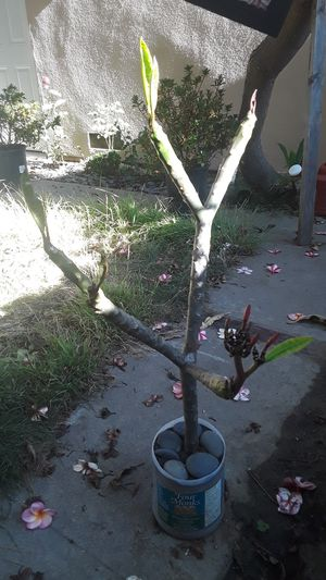 4 branch Plumeria in pot with blooms for Sale in Santa Ana, CA