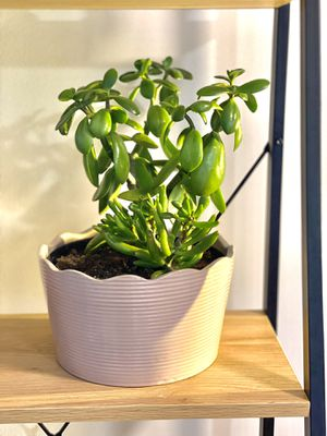 Huge Jade Plant 7 inch Ceramic Pink Pot for Sale in The Bronx, NY