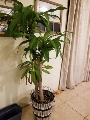 Live house plant for Sale in Las Vegas, NV