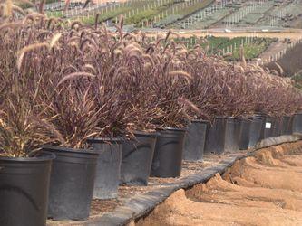 Purple fountain grass buy 4 for $20 plantas de gras ornamental 4 por $20 for Sale in West Palm Beach,  FL