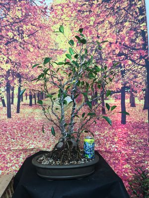 Pre-Bonsai: Ficus retusa (aka tiger bark) for Sale in Malden, MA