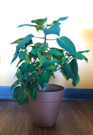 Poinsettia plant for Sale in The Bronx, NY