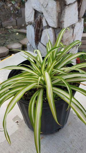 Spider plant in 3 gallon pot for Sale in Santa Fe Springs, CA