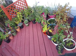Perennial plants from$3-$5 for Sale in St. Louis, MO