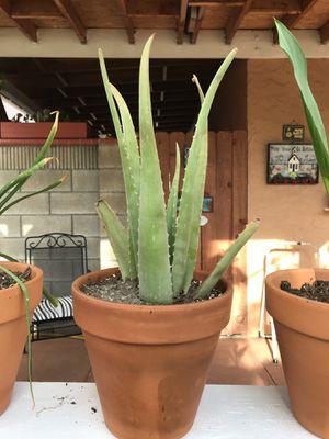 Aloe Vera plant for Sale in Costa Mesa, CA