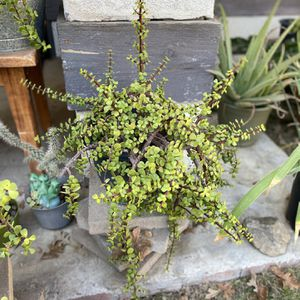 Jade Plant for Sale in Bakersfield, CA