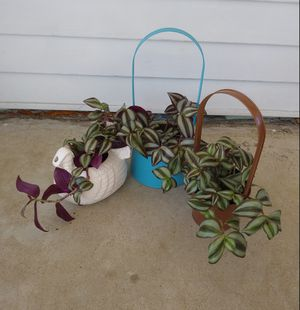 Jew house plants$10-$12 each pot for Sale in St. Louis, MO