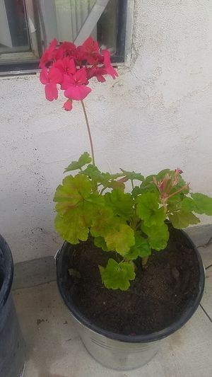 Geranium pink in 3 gal for Sale in Sanger, CA