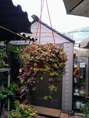 CALESSIA REPENS HANGING PLANT for Sale in Paramount, CA
