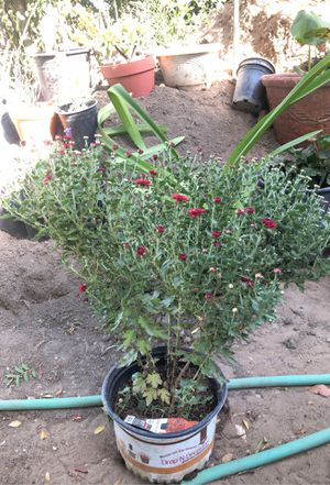 Flower Plant for Sale in Fresno, CA