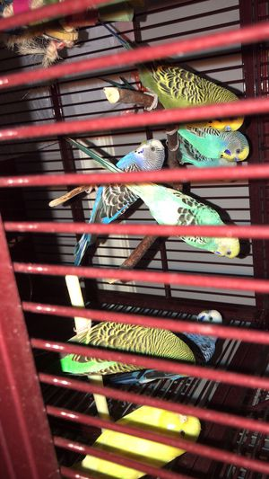 New Cage and Parakeets for Sale in Manassas, VA