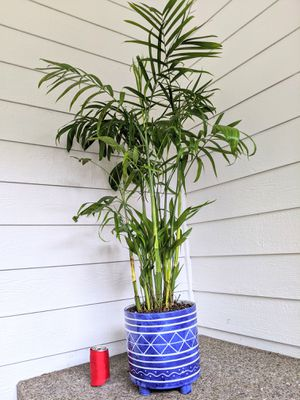 Bamboo Palm Plants in 4-Leg Ceramic Planter Pot-Real Indoor House Plant for Sale in Auburn, WA