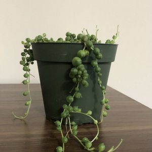String Of Pearls Plant for Sale in Cicero, IL