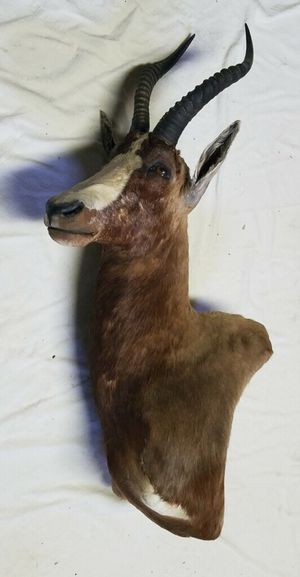 Blesbok African Mount for Sale in Traverse City, MI