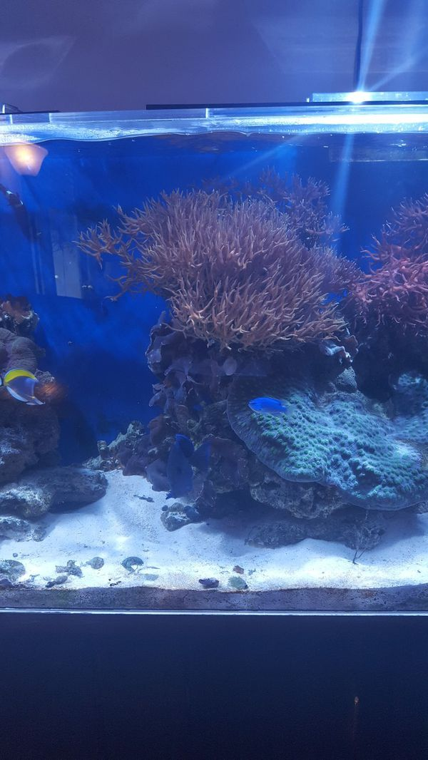Large birds nest coral