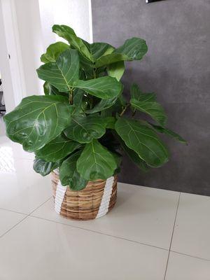 Planta natural ficus lyrata for Sale in Miami, FL