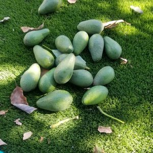 ORGANIC AVACADOES for Sale in Los Angeles, CA