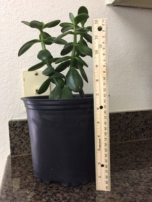 Jade plant for Sale in Argyle, TX