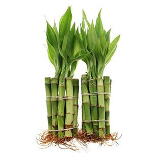 "20 pieces 4"" lucky bamboo Real Live Indoor Houseplant Plant shipping ok 🚢 for Sale in Garden Grove, CA"