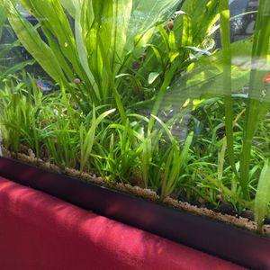 Aquarium Dwarf Sag Plants Fish Tank for Sale in Los Angeles, CA