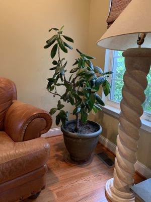 Rubber Tree for Sale in Bowie, MD