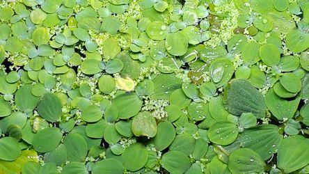 Aquarium Plants- Dwarf Water Lettuce And Pogostemon Stellatus Octopus for Sale in Renton,  WA