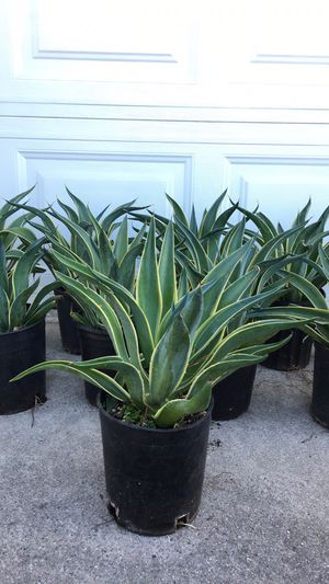 Very healthy Agave - $6 each - Outdoor Plant - Less water for Sale in Garden Grove, CA