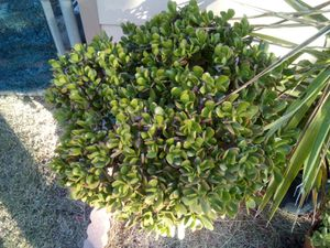 Very huge heavy succulent plant $40 in pot for Sale in Delano, CA