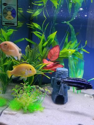 (Live) Fish- African Cichlids for Sale in Pompano Beach, FL