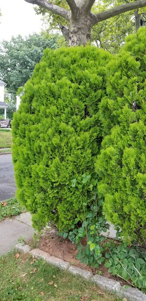2 free evergreen shrubs. 8 FT tall for Sale in Elizabeth, NJ