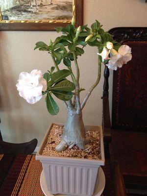 Large Adenium Desert Rose for Sale in Azusa, CA
