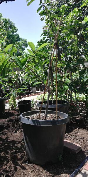 Atemoya & Longan Trees for Sale in San Gabriel, CA