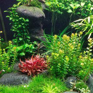 Aquarium Plant: Rotala Bonsai for Sale in Seattle, WA