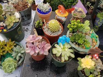 SALE THIS WEEK..SKYLINE SUCCULENTS SAN LORENZO..ALL PRICES IN SLZ for Sale in San Lorenzo,  CA