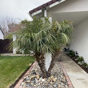 Palm tree for Sale in San Jose, CA