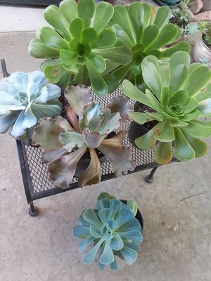 Big Succulent plant in a gallon.pot. $8 each pot for Sale in Anaheim, CA