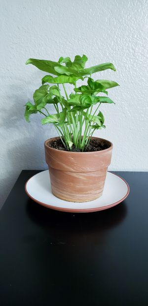 Live arrowhead plant in terracotta pot with terracotta plate for Sale in Chandler, AZ