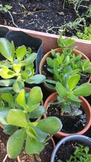 3 jade plants clay pots for Sale in El Sobrante, CA