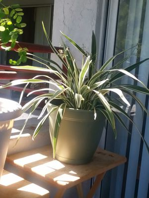 NICE SPIDER PLANT for Sale in Tampa, FL