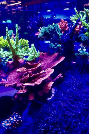 Montipora , The whole coral or start with a $ 5 frag for Sale in Hialeah, FL