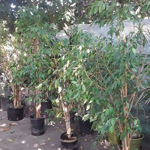 Ficus Tree Between 5 1/2 To 6 Feet Tall Healthy No Fake for Sale in Los Angeles, CA
