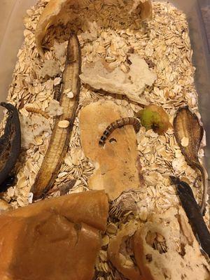 Free Súper worms hábitat for Sale in Everett, WA