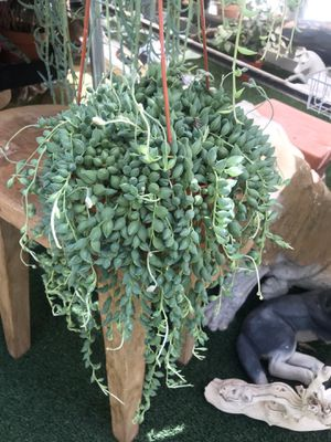 """Plants (6""""hanging pot, String of Beans $15) for Sale in Chula Vista, CA"""