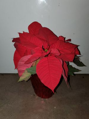 Poinsettia plant for Sale in Phoenix, AZ